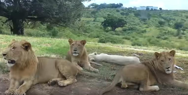 Cuatro tigres y tres leones dan positivo para covid-19 en el zoo de Nueva York después que una tigresa fuese infectada por un empleado