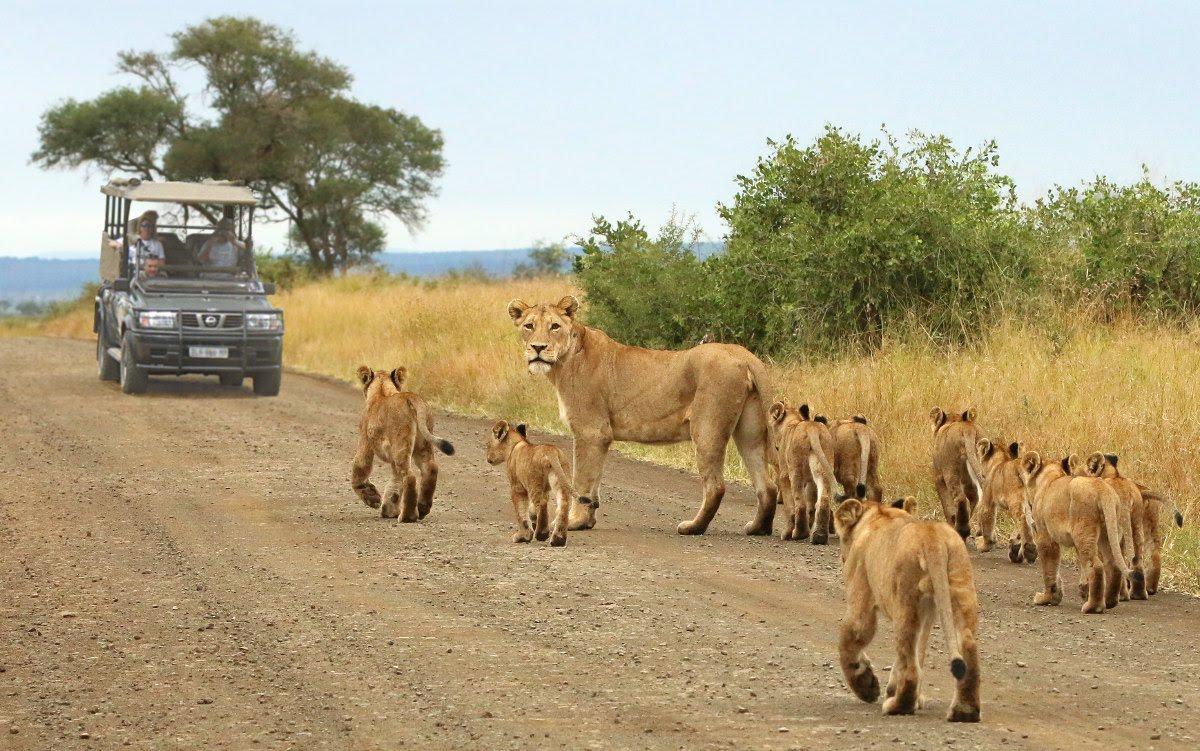 (Video) Se llevan el susto de sus vidas cuando un león 'toca la puerta' de su auto