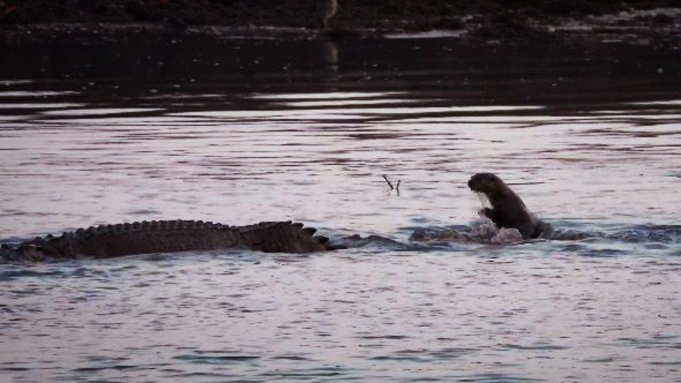 Una banda de nutrias ahuyenta a un cocodrilo enorme