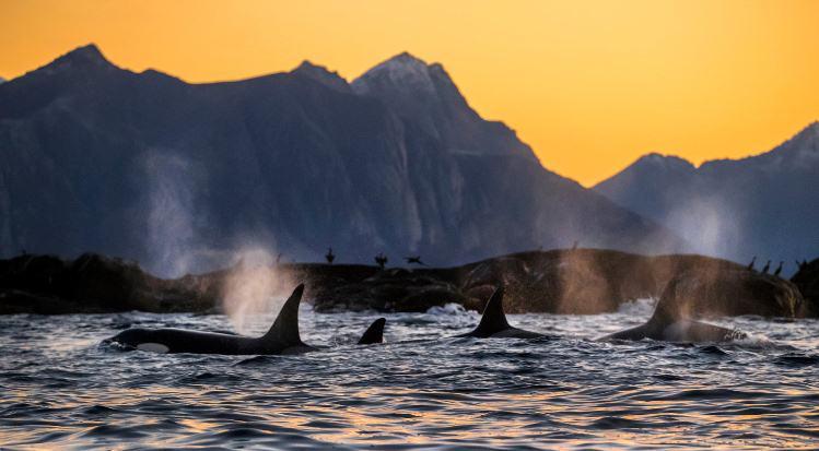 Nuevo estudio global destaca la urgencia por evitar el apocalipsis de las orcas