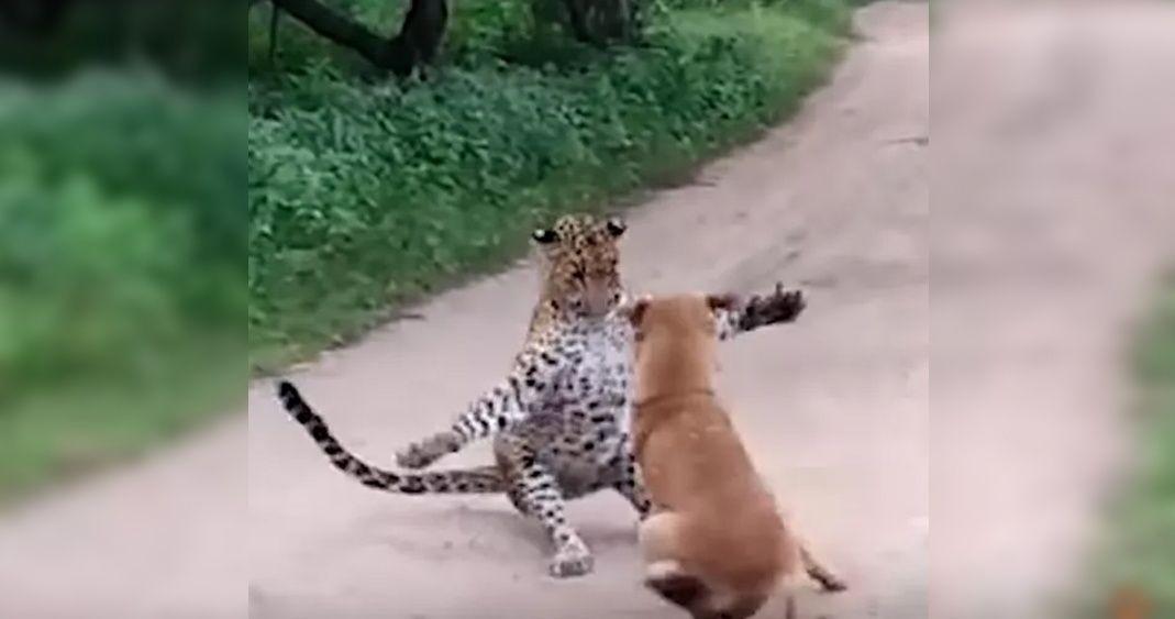 (Vídeo) Perro callejero le gana la pelea a un leopardo y lo corre del lugar