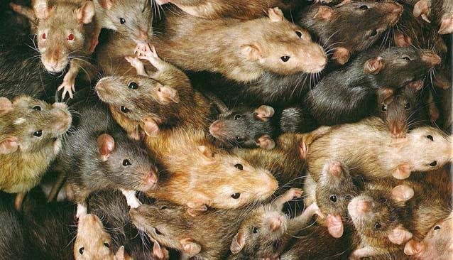 (Fotos) Descubre ratas debajo de su bañera y las deja sobre el escritorio de las autoridades