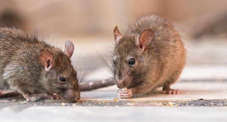 Hong Kong: Descubren en una persona Hepatitis E cepa que afecta solo a las ratas