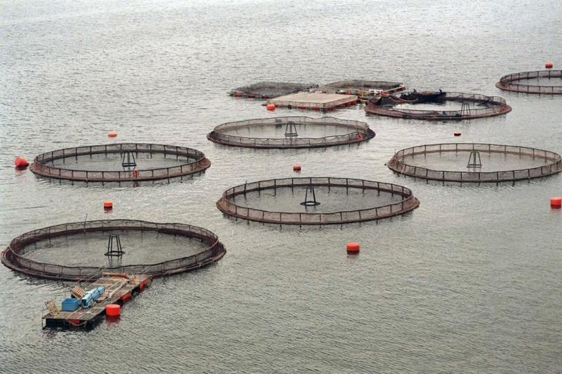 Cuestionada en Chile, la industria del salmón se acerca a Argentina