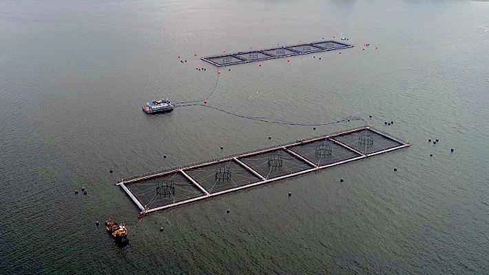 Sernapesca desmiente a Marine Harvest y dice que recaptura de salmones es de sólo 5,5%
