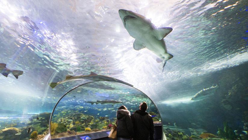 (Vídeo) Un hombre se lanzó desnudo en un acuario con tiburones