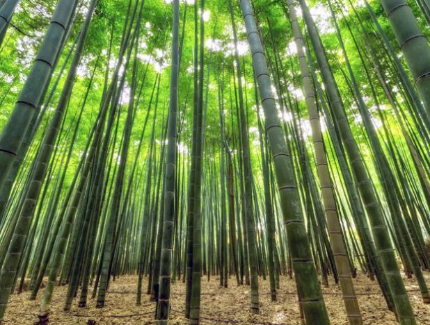 El bambú se perfila como material sustituto del plástico en Jamaica