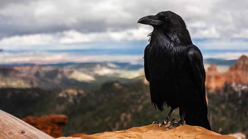 (Vídeo) Los cuervos pueden construir herramientas de dos o más elementos