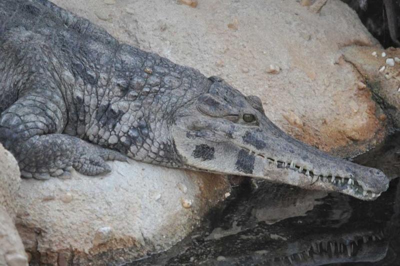 Luego de 85 años encontraron dos nuevas especies de cocodrilo de hocico delgado