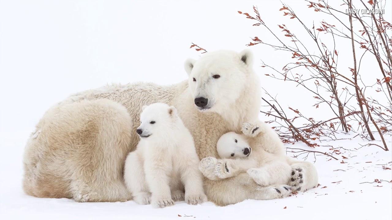 Retratar osos: La pasión de la fotógrafa suiza Daisy Gilardini