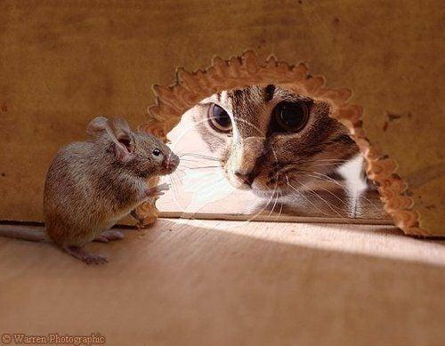 ¡Fin del mito! Los gatos no son tan buenos cazando ratones