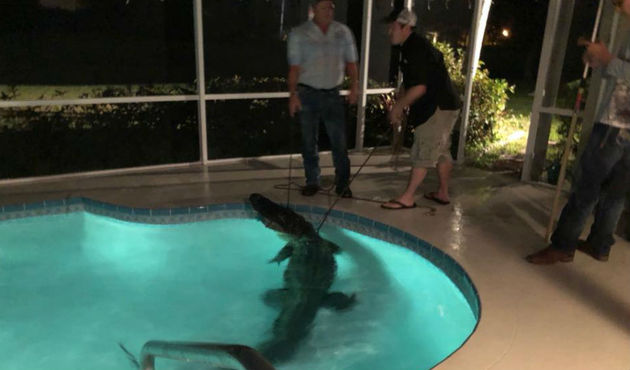 (Video) Caimán de 3 metros irrumpe en una casa y se mete a la piscina