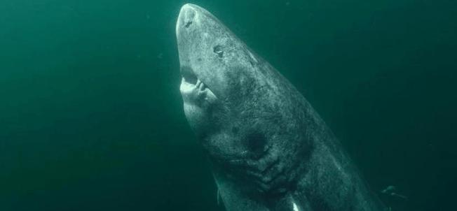 (Vídeo) ¡Sorprendente hallazgo! Pescadores capturan tiburón de más de 500 años