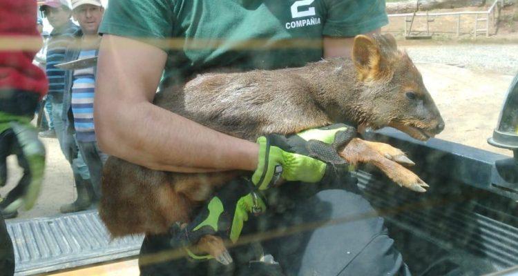 Nueva Imperial: Bomberos rescataron a un pudú que estaba siendo atacado por una jauría de perros