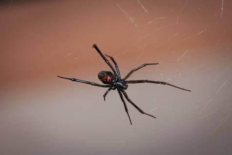 Las viudas negras tejen super telarañas con resistencia de acero