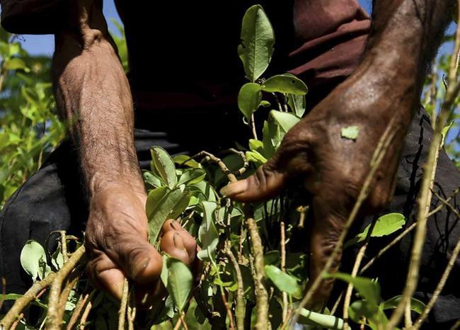 Indígenas no pueden vender productos de hoja de coca sin permiso