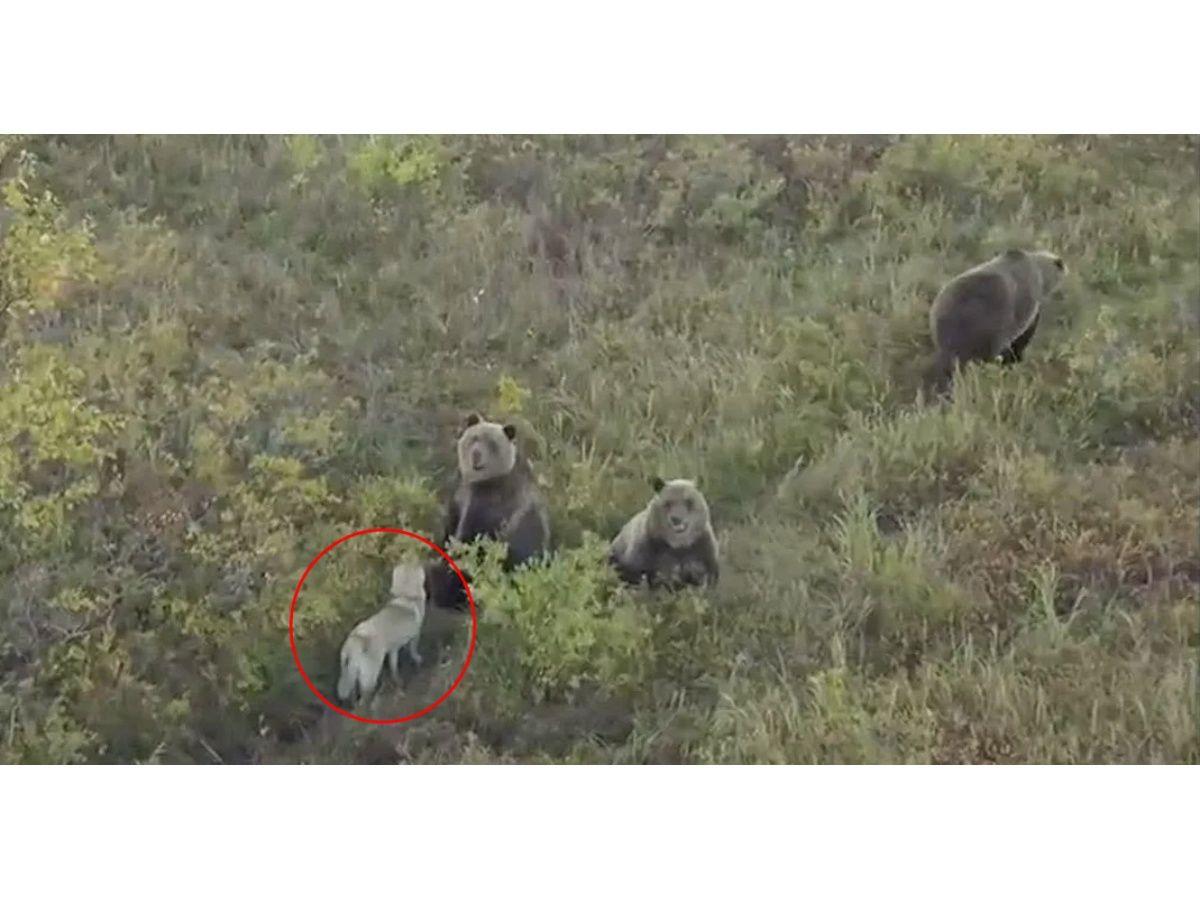 (Video) Un inocente perrito juega feliz con una familia de osos