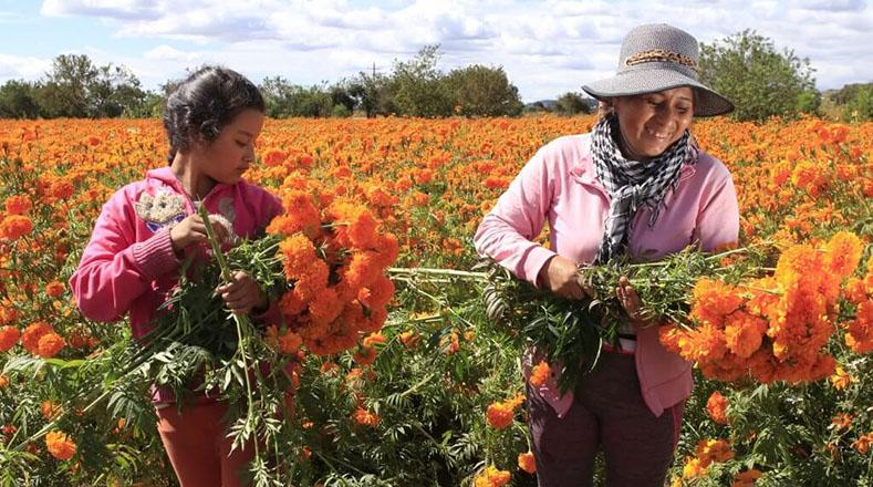 Día de los muertos: floricultores desde ya recolectan las cempasúchil para adornar las tumbas y los altares