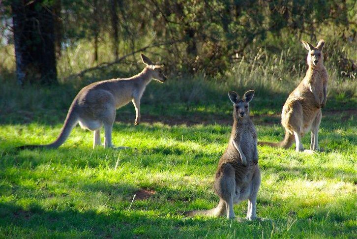 Un canguro furioso le dio una paliza a una familia australiana