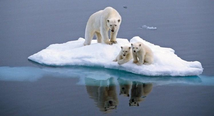 Los osos polares podrían enfrentar la extinción en unas pocas décadas