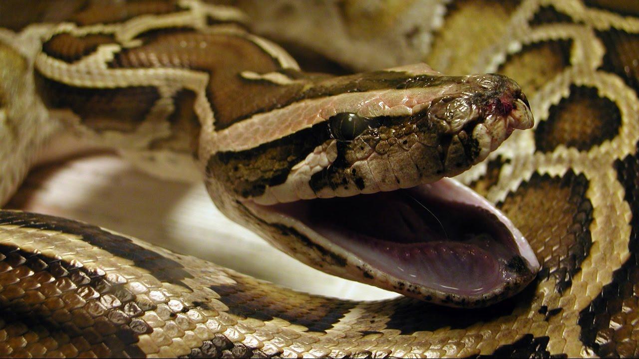 ¡Impactante! Serpiente se tragó un gato y la obligaron a expulsarlo