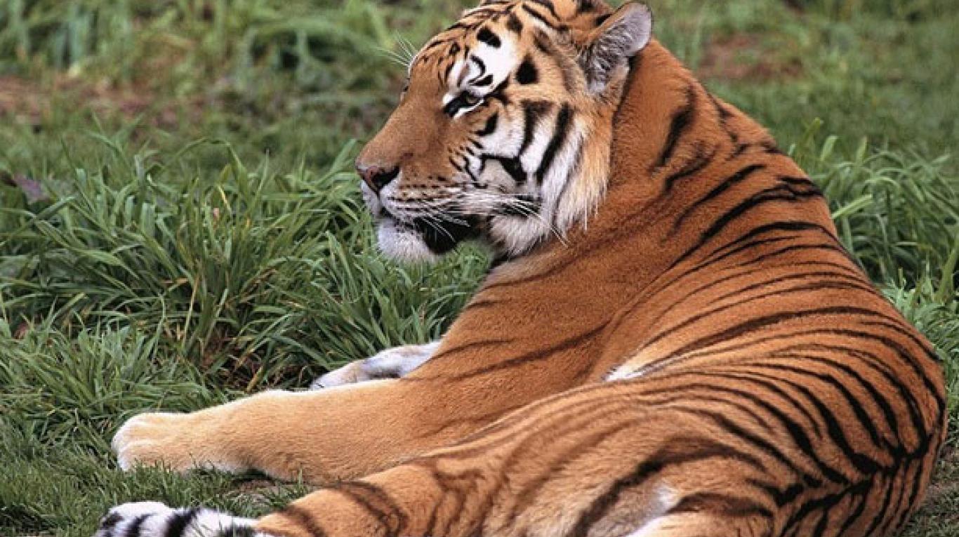 (Videos) Capturan un tigre siberiano manso y que no teme a los humanos