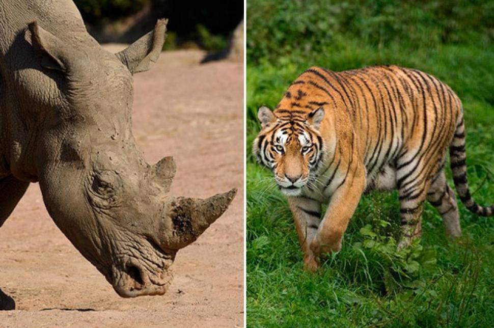 Legalizan en China uso de cuernos de rinocerontes y huesos de tigre para la medicina