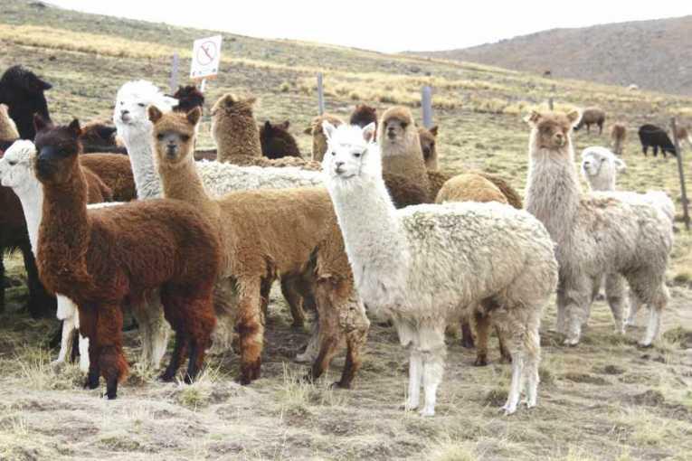 Bolivia incrementó su ganado camélido a 3,2 millones de cabezas