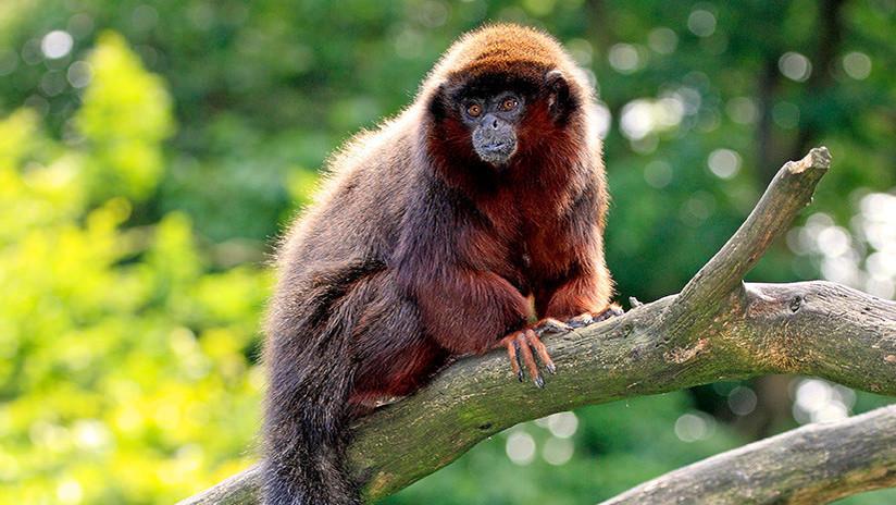 Una investigación resuelve el misterio del extinto mono del Caribe