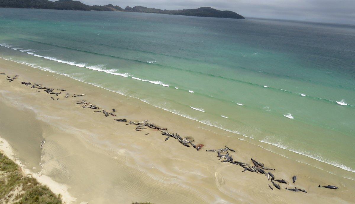 Hallan más de 140 ballenas muertas en las costas de Nueva Zelanda