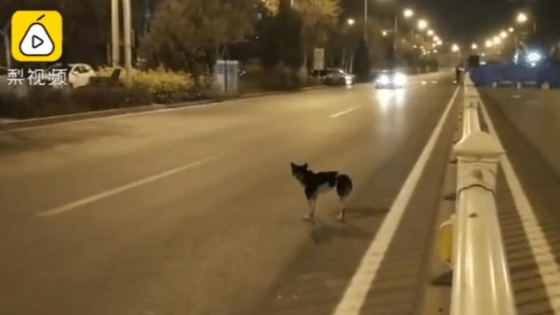 (Video) Un perro lleva 80 días esperando en una carretera a su dueña fallecida