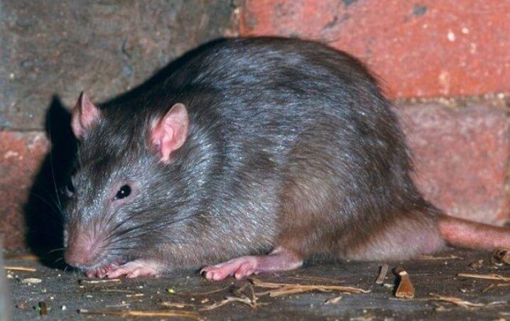 (Fotos) Atrapan a una rata de más de medio metro en el Reino Unido