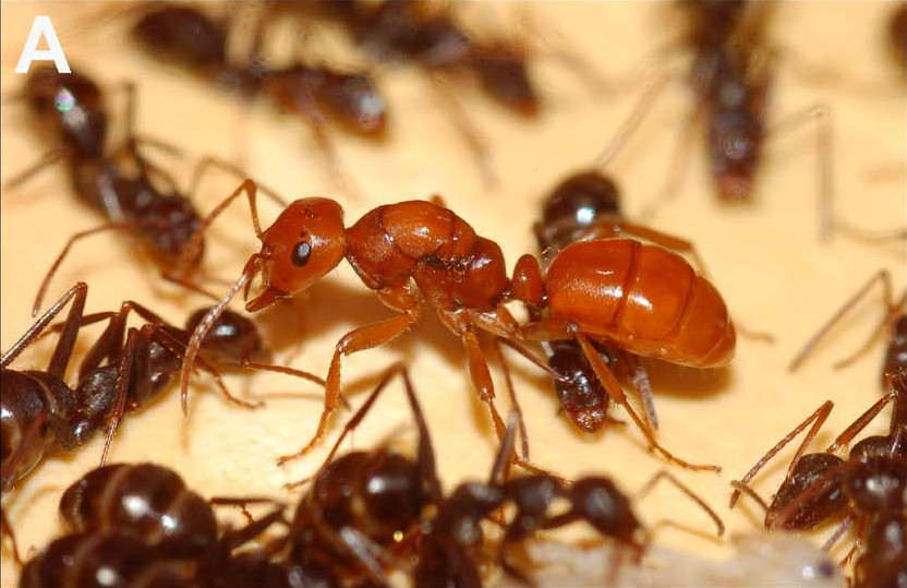 Estudio reveló porqué las hormigas coleccionan las cabezas de sus víctimas