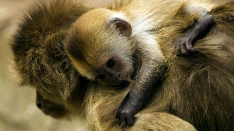 (Video) Desgarrador momento cuando un bebé mono intenta despertar a su madre tras ser atropellada