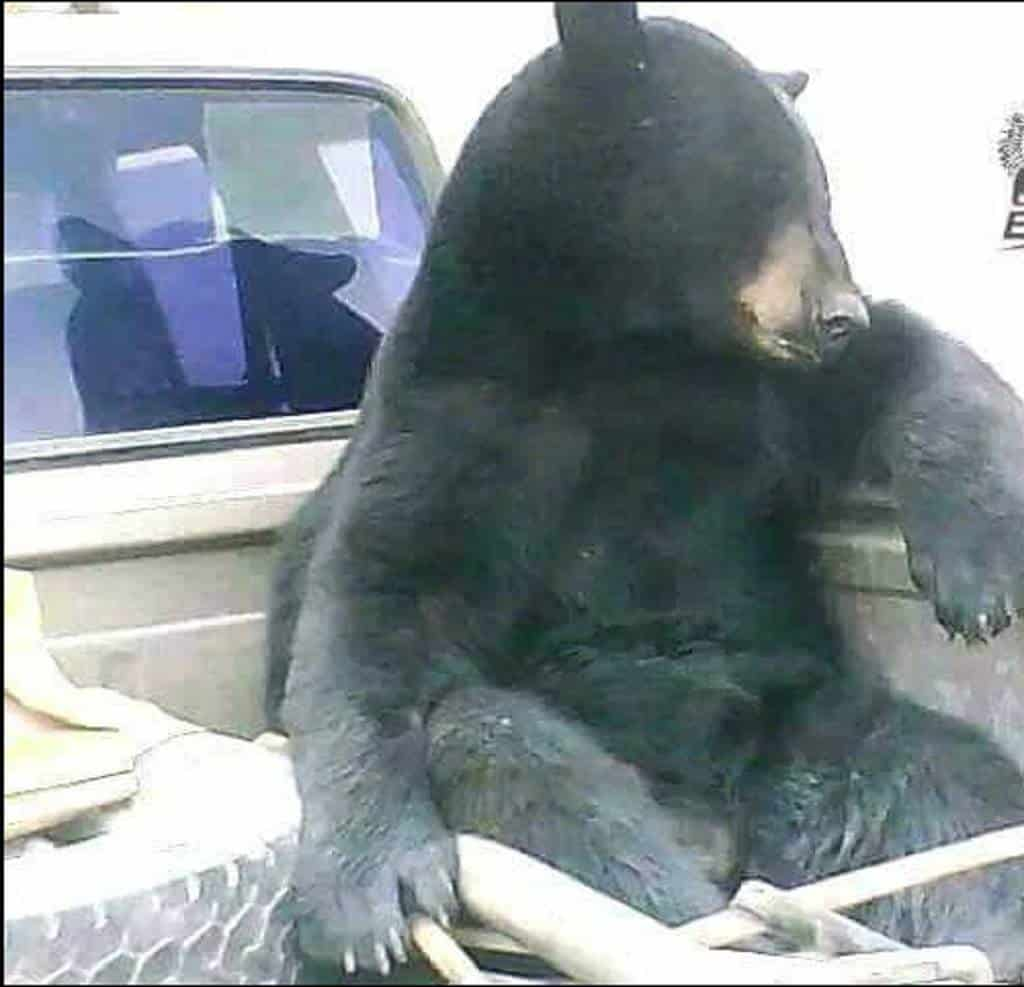 (Fotos) Un oso habilidoso viaja en carro para buscar su alimento