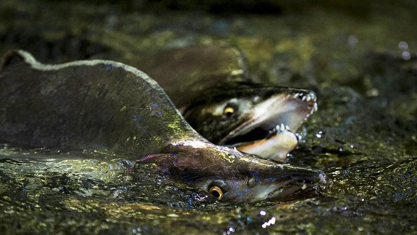 (Video) Salmones cruzan a nado una carretera en Estados Unidos