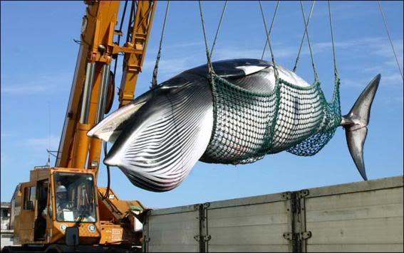 Japón volverá a cazar ballenas tras su retiro de comisión protectora