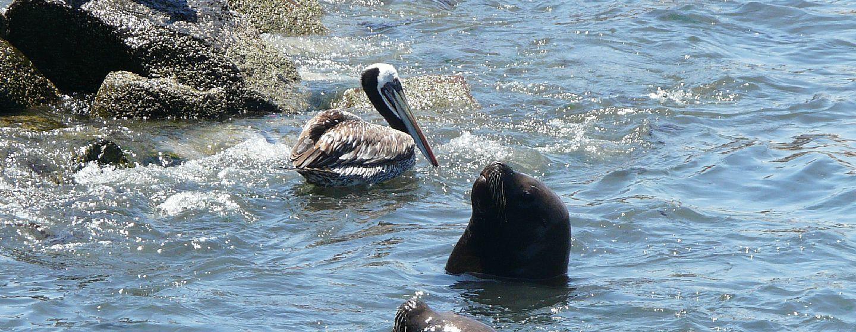 ONG denuncia que campaña contra los lobos marinos busca encubrir la sobreexplotación pesquera
