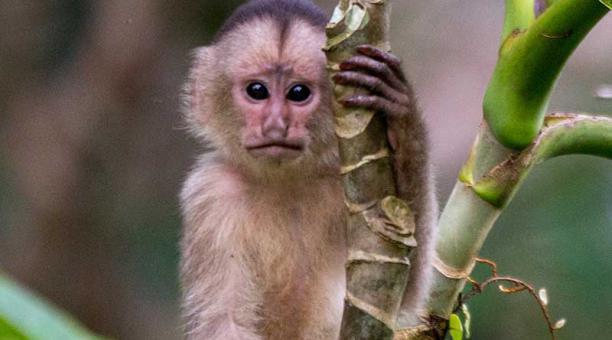 Once especies de primates en peligro de extinción en Ecuador