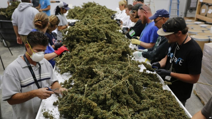 (Video) Uruguay entregará nuevos permisos para producir cannabis recreativo