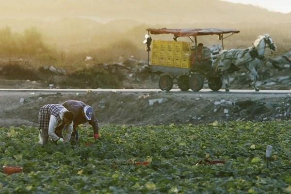 (Video) Campesinos palestinos son víctimas del expansionismo israelí