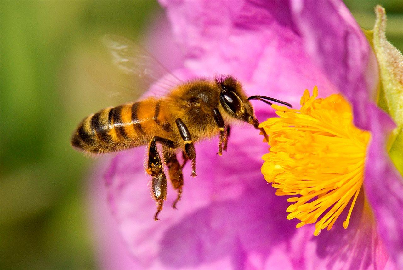Desaparición de las abejas pone en peligro las cosechas de alimentos en el planeta
