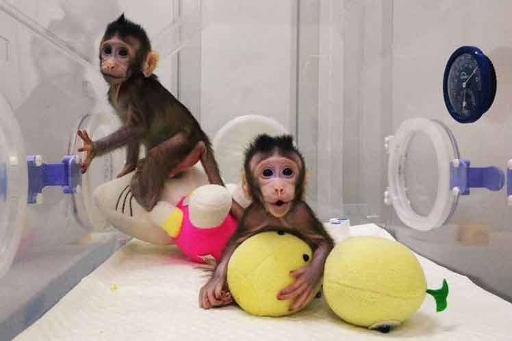 Nacieron cinco monos clonados y modificados genéticamente en China