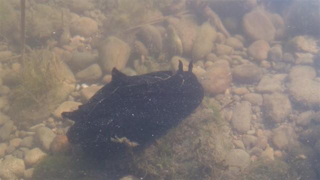 Conoce todo acerca de  la «liebre marina negra»