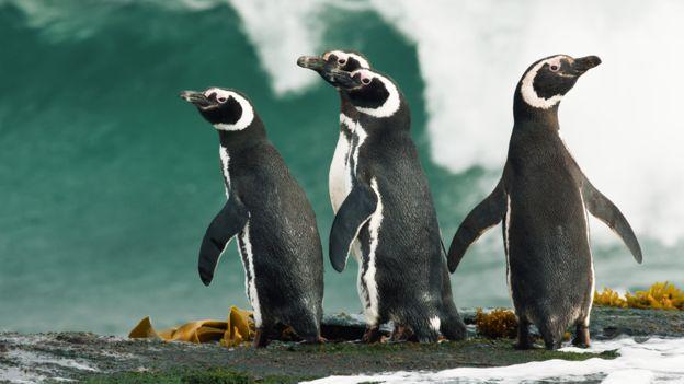 Pingüinos hembras migran más lejos y por eso mueren más en Suramérica