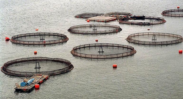 Acusan a salmoneras Marine Harvest y Ventisqueros de negar datos sobre uso de antibióticos