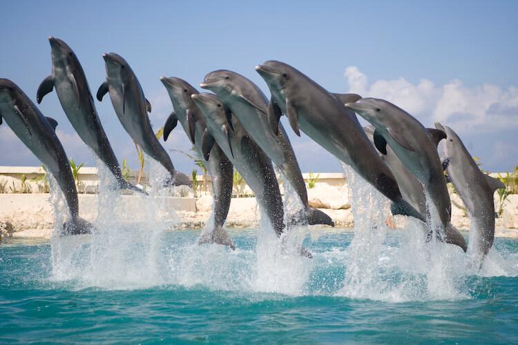 Los delfines disfrutan de ciertas sustancias para drogarse de manera natural