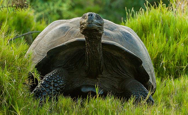 Hallan tortuga gigante considerada extinta hace un siglo en las islas Galápagos