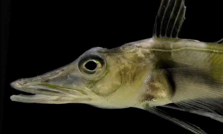Peces que sobreviven en la Antártida tienen anticongelantes en su sangre