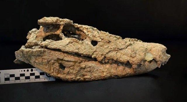 En Argentina presentaron fósil de cocodrilo de hace 70 millones de años